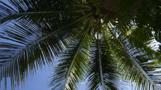 Coconut Palm Tree in Blue Tropical Sky