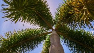 Coconut Palm Trees against Tropical Blue Sky. Timelapse.