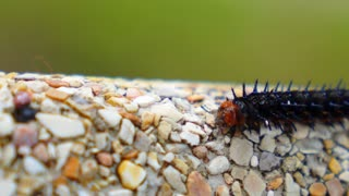 Colorful Barbed Butterfly Caterpillar Creeping along the Stone.