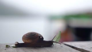 Creeping Snail. Closeup.