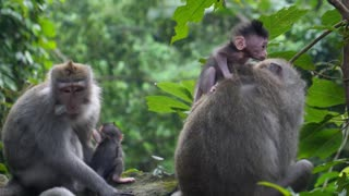 Cute Baby Monkey with Mother in Jungle Forest
