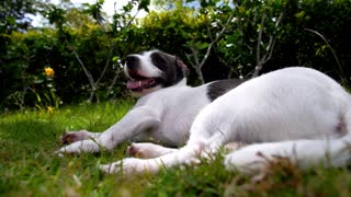 Cute Dog Resting in Grass Outdoors. Slow Motion.