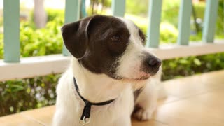 Cute Dog with Smart Eyes Is Sad. Sitting Outdoors and Waiting. Slow Motion.