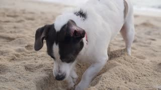Dog Digging a Hole in Sand at Beach in Summer Holiday