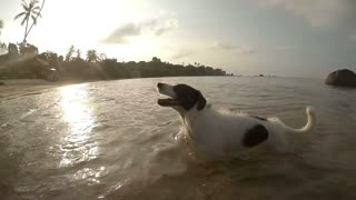 Dog Running on Beach after Swimming in Sea. Slow Motion
