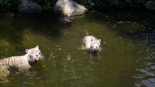 Endangered White Tigers Swimming in Water in Singapore Zoo
