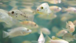 Fish in Aquarium Closeup