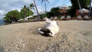 Funny Dog on Beach Wallowing in Sand near Resort. Slow Motion