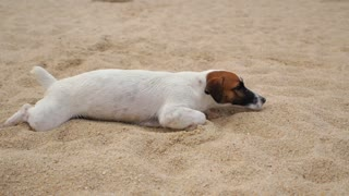 Funny Jack Russell Puppy on Vacation at the Beach