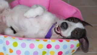 Funny Sweet Dog Lying on Back on Bed.