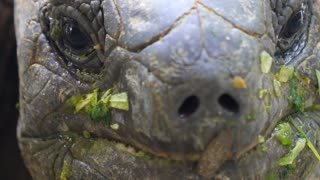 Giant Turtle with Green Leaves in Mouth. Closeup.
