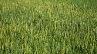 Green Rice Terrace or Rice Field in Ubud, Bali