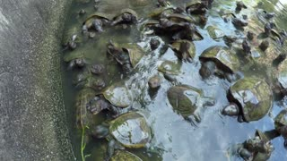 Group of Turtles Swimming in Pond. Close up.