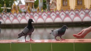 Hand Feeding Pigeons against Buddhist Temple.