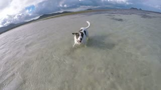 Happy Dog Running on Beach in Sea at Sunrise. Slow Motion.