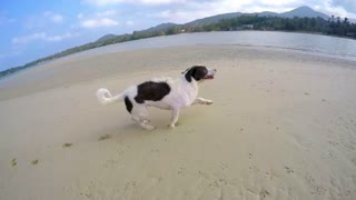 Happy Dog Running on Beach. Slow Motion.
