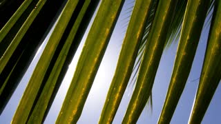 Leaf of Palm and Morning Sun. Slow Motion.