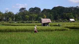 Local Farmer Crops Rice in Green Field