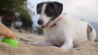 Lovely Dog Plays with the Ball on Beach. Slow Motion