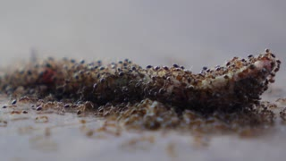 Many Angry Ants Eating Dead Insect. Timelapse