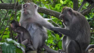 Monkey Family with Baby in Forest