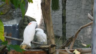 Pair of White Cockatoo on the Tree in Love