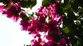 Pink Flowers and Sun Flare. Slow Motion.