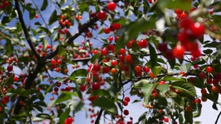 Red and Sweet Cherries on a Branch of Cherry Tree in Summer