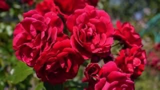 Red Rose in Garden in Summer. Closeup.