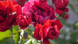 Red Roses and Honey Bee Closeup