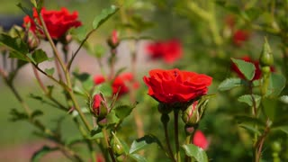 Red Roses in Green Garden