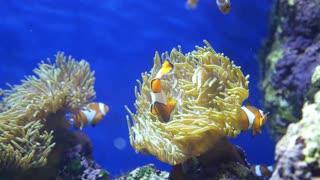 Royal Angelfish Swimming in Blue Fish Aquarium