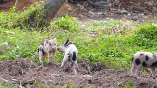Small Pigs Playing Outdoors