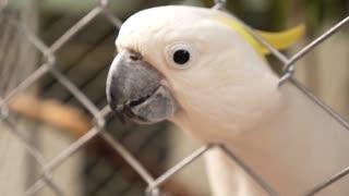 Sulphur-Crested Cockatoo, Cacatua Galleria. Parrot. Slow Motion.