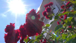 Sun Rays and Blue Sky Through Red Rose in Garden in Summer