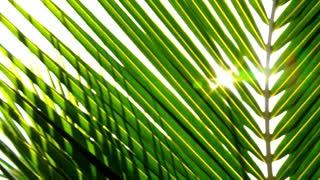 Sun through Palm Leaves. Slow Motion.