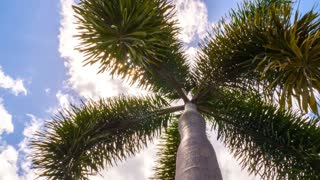Tropical Palm Tree at Beach against Sky. Timelapse.