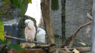 Two Cockatoo Parrots Flirting on the Tree