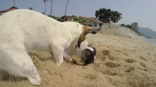 Two Dogs Playing at Beach Digging in Sand. Slow Motion.