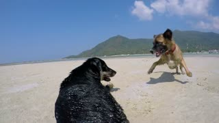 Two Dogs Playing on the Beach. Slow Motion