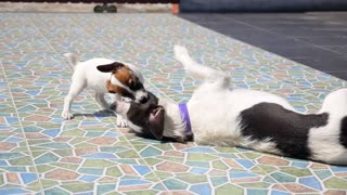 Two Dogs Playing Together Outdoor
