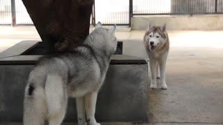 Two Siberian Husky Dog Playing Outdoors