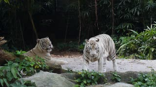 Two White Tigers in Jungles in Zoo