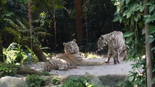Two White Tigers in Love in Zoo