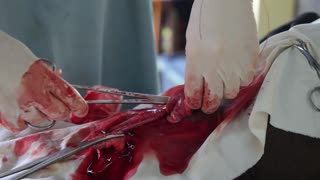 Veterinarian Doctor Performing Neutering on Animal. Closeup Surgery