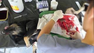 Veterinarian Doctor Performing Neutering Surgery on Dog