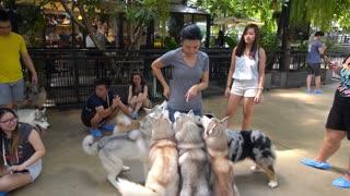 BANGKOK, THAILAND, SEPT 20, 2016: Siberian Husky Dogs with Pet Owner Outdoors. Husky Dog Cafe.