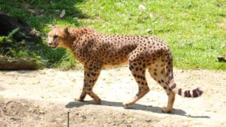 Cheetah Walking Anxiously in Zoo