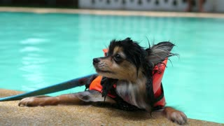 Cute Pomeranian Dog Wear Life Jacket Swim in Swimming Pool