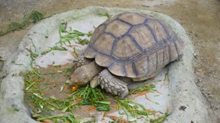 Giant Tortoise Eating Food in Singapore Reserve, Zoo